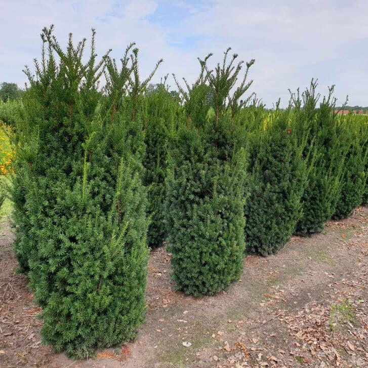 30 Stück Taxus Baccata Eiben Heckenpflanze für eine winterhart Hecke 25-35cm